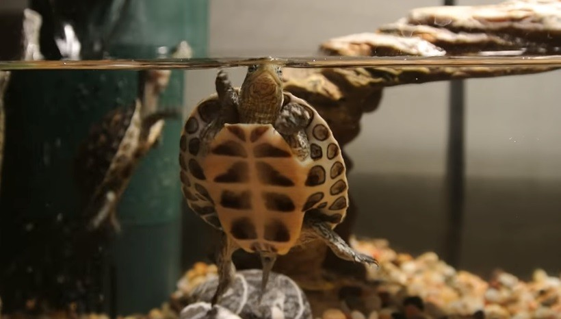Golden Thread Turtle Care