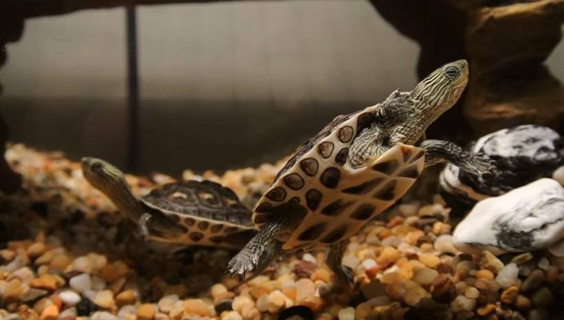 Golden Thread Turtle For Sale