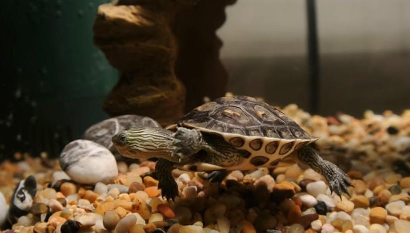 Golden Thread Turtle Size