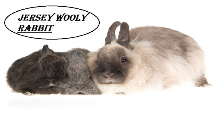 Jersey Wooly Rabbit | Facts, Lifespan, Diet, Care, Price | Petshoods