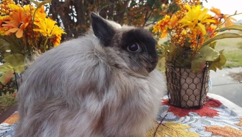 Jersey Wooly Rabbit breeders