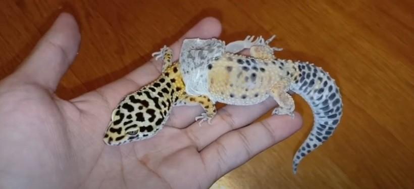 Leopard gecko shedding process
