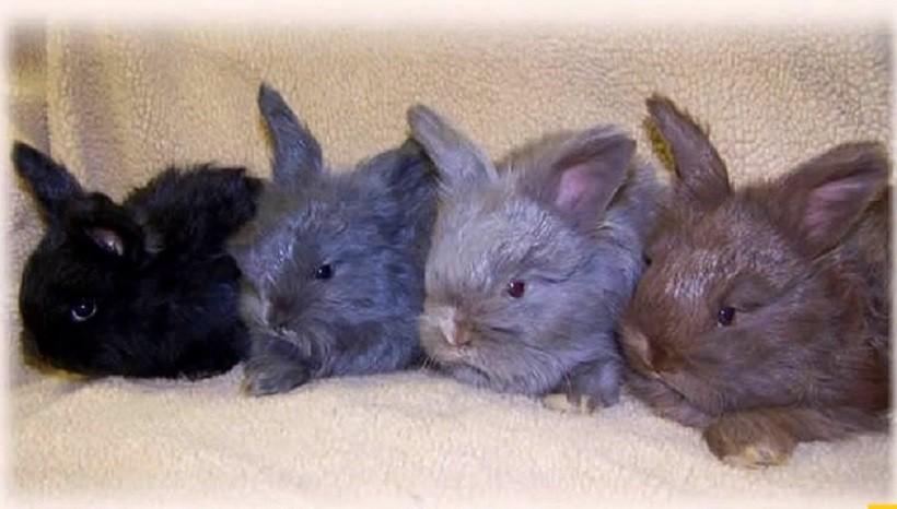 Lilac rabbit's characteristics