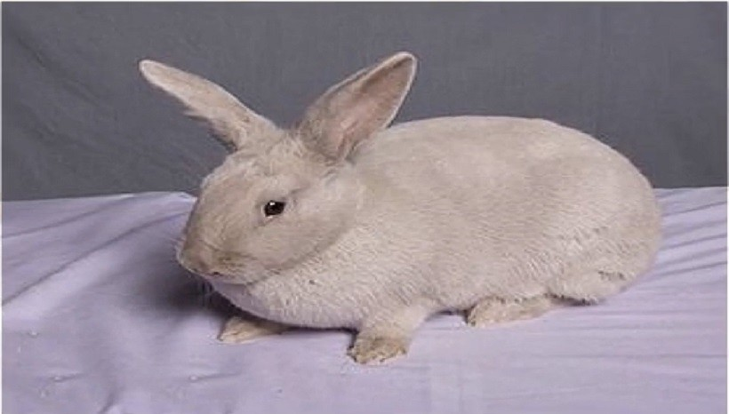 Lilac rabbits for sale