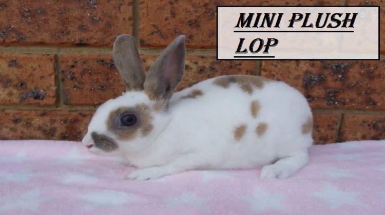Mini Plush Lop | Size, Facts, Lifespan, Characteristics, Price