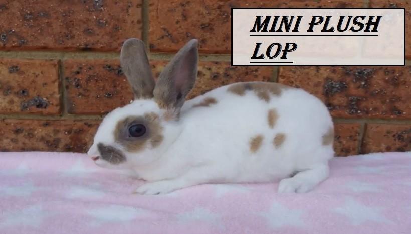 Mini Plush Lop