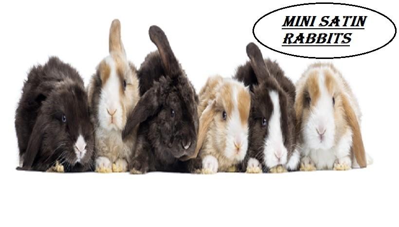 Mini Satin Rabbits