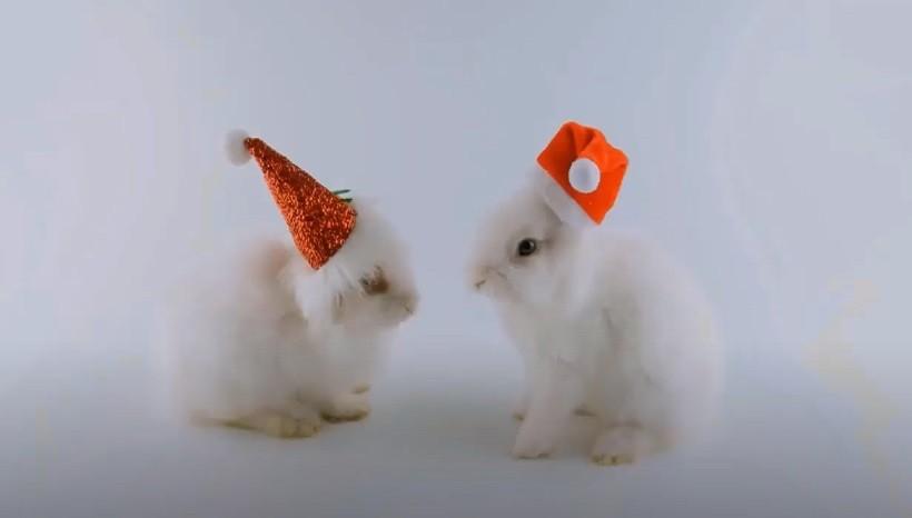 Mini satin Rabbits facts