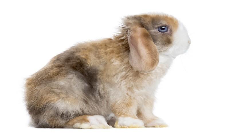 Mini satin rabbit Characteristics