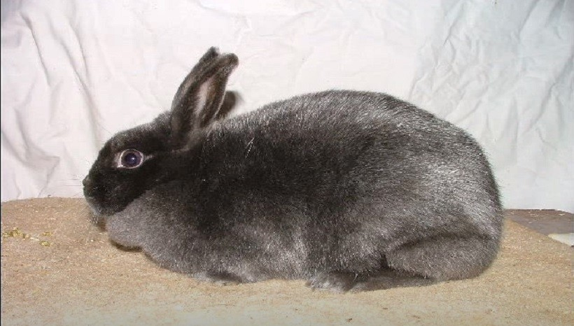 Mini satin rabbits habitat conditions