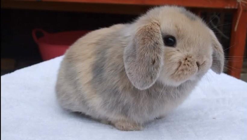 Price of Mini plush lop rabbits
