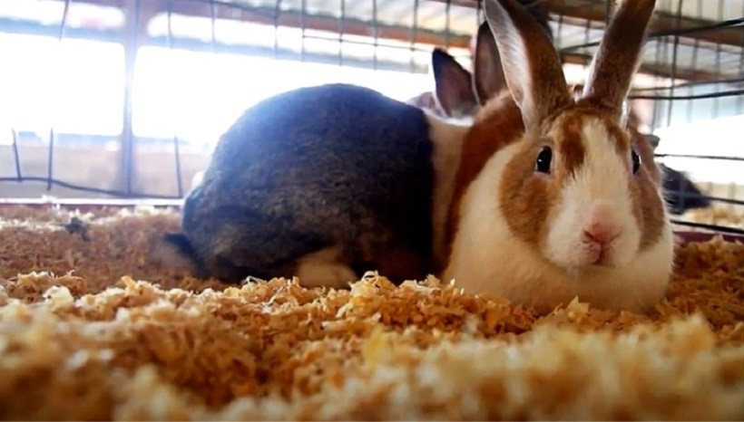 Satin Rabbit Breeders