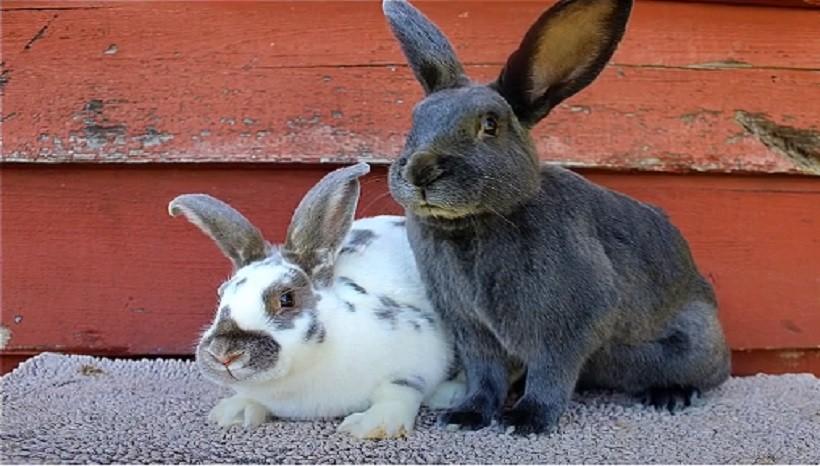 Satin Rabbit Facts