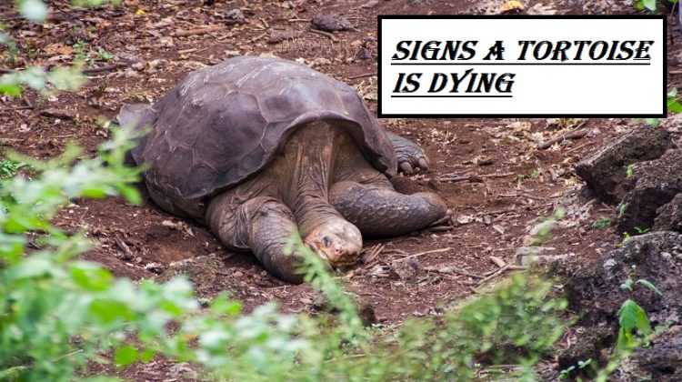 Signs A Tortoise Is Dying