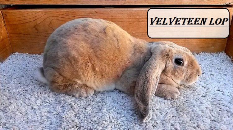 Velveteen Lop | Lifespan, Characteristics, Breeders, Price | Petshoods