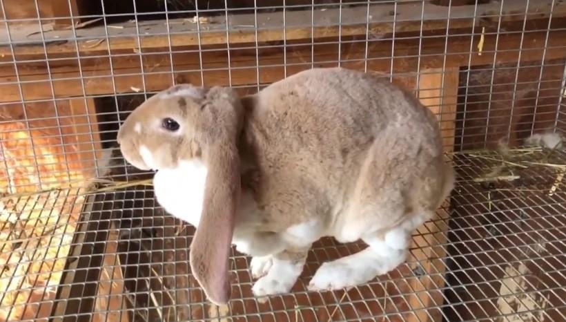Velveteen lop rabbit facts