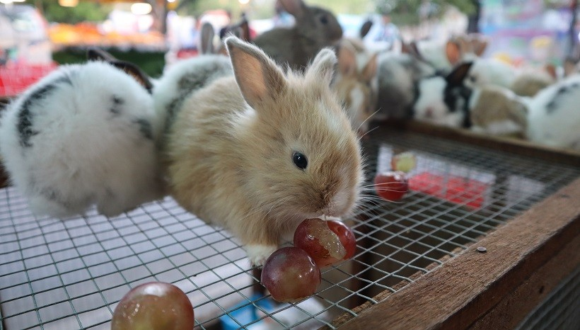 Can Rabbits Eat Grapes With Seeds