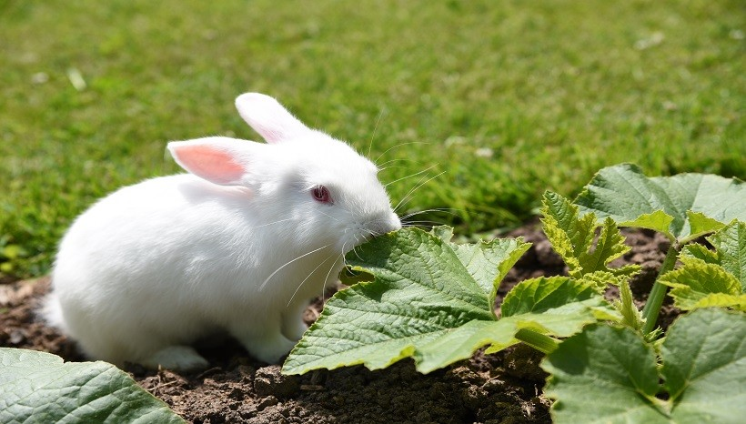 Can Rabbits Eat Zucchini Leaves