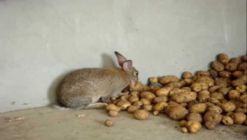Can rabbits eat raw potatoes
