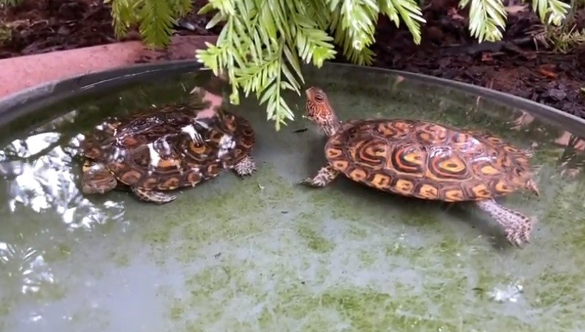 Central American Wood Turtle Appearance