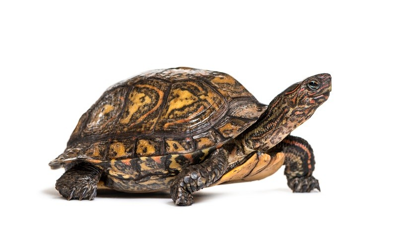 Central American Wood Turtle Reproduction
