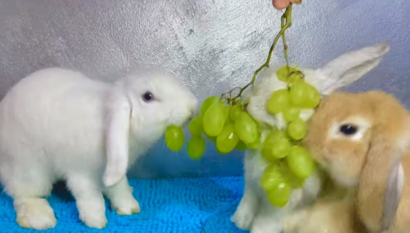 How Many Grapes Can Rabbits Eat