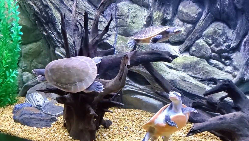 Pink Bellied Side neck Turtle Care
