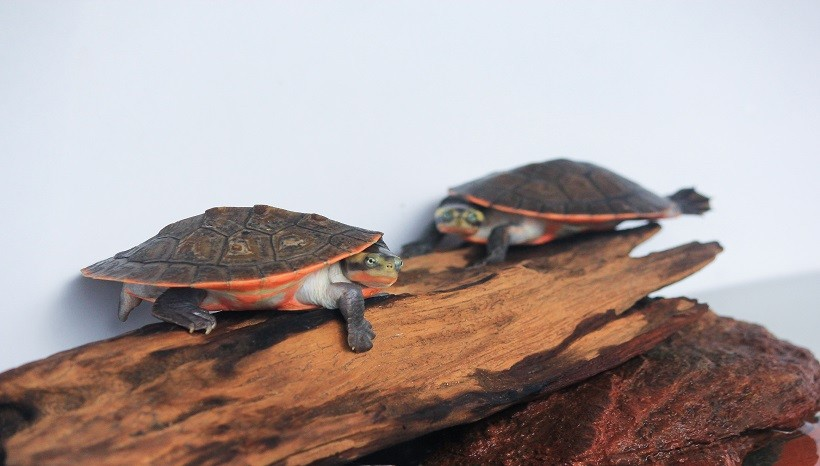 Pink Belly Side neck Turtle Appearance