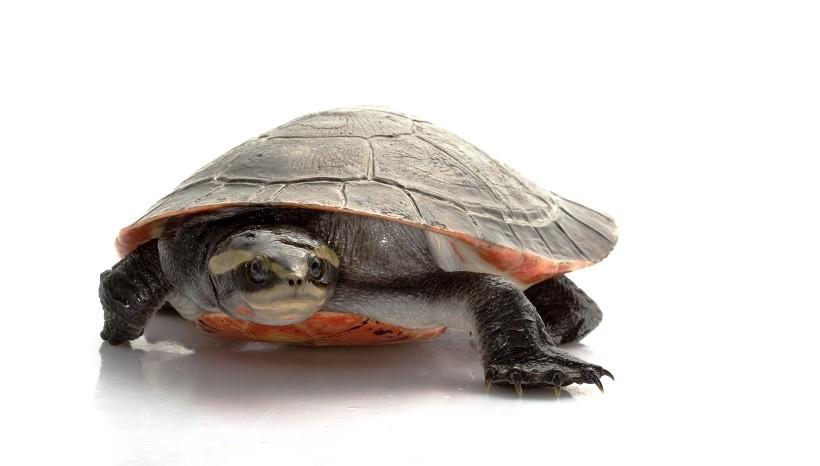 Pink Belly Side neck Turtle Habitat