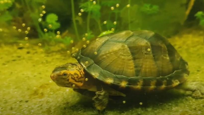 Red-cheeked Mud Turtle Diet