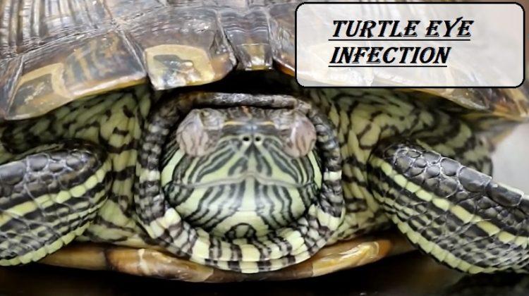 Turtle Eye Infection