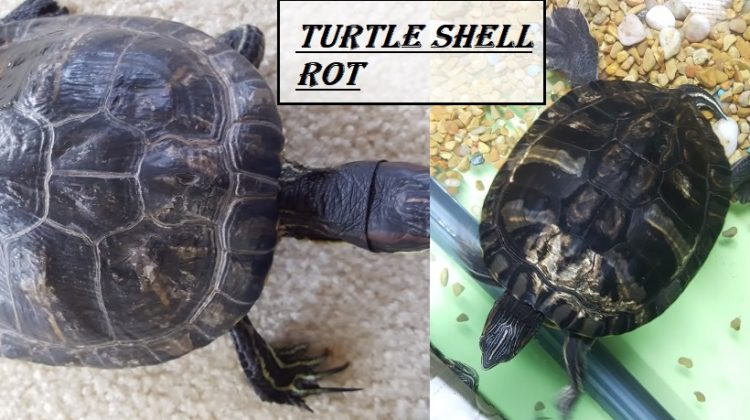 Turtle Shell Rot