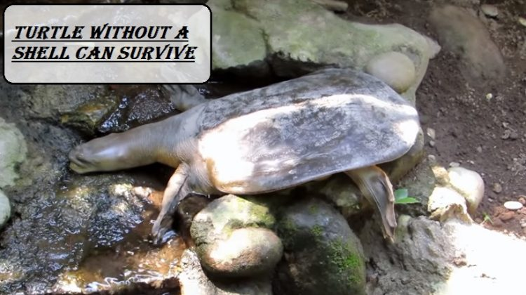 Turtle without a shell Can survive