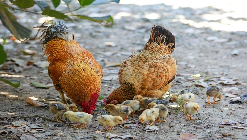 Are Ants Safe For Chickens