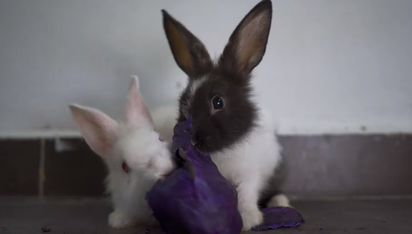 Can Baby Rabbits Eat Red Cabbage