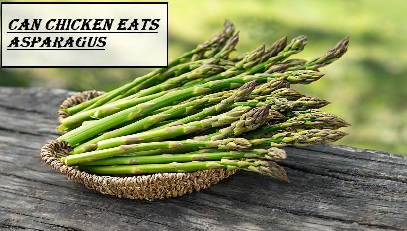 Can Chicken Eats Asparagus