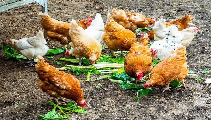 Can Chickens Eat Asparagus Plants