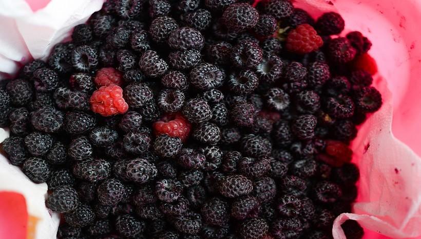 Can Chickens Eat Black Raspberries