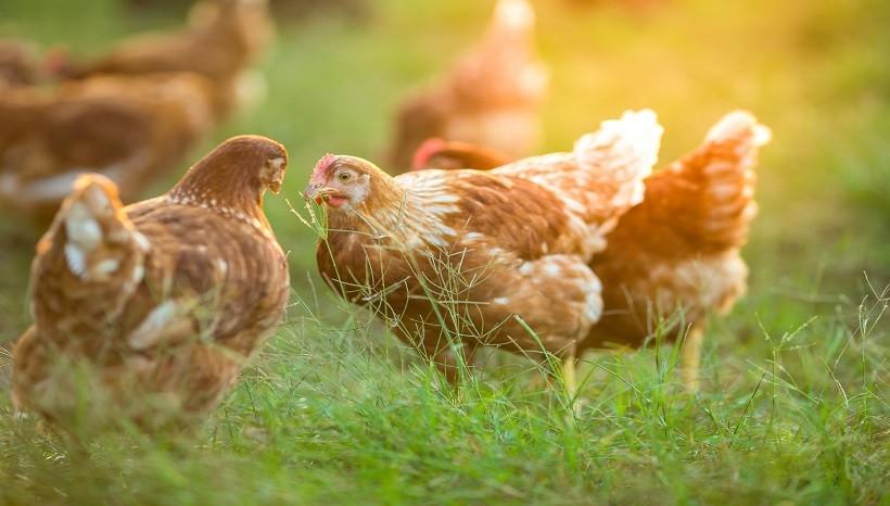 Can Chickens Eat Frozen Raspberries