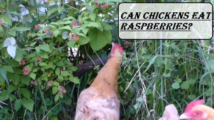 Can Chickens Eat Raspberries