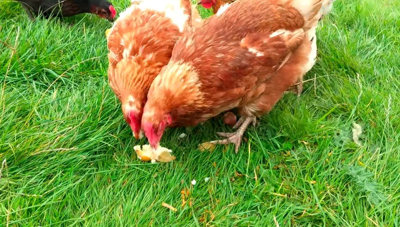 Can I Feed Chickens Raw Sweet Potatoes