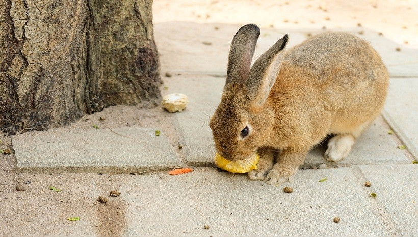 Can Rabbits Eat Sweet Corn