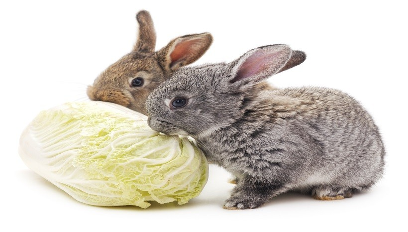 Can Rabbits Eat White Cabbage