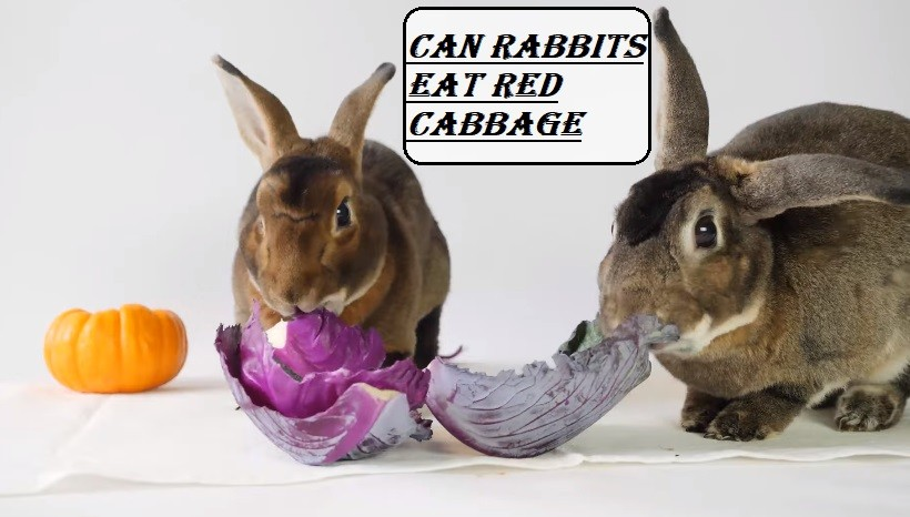 Can rabbits Eat Red Cabbage