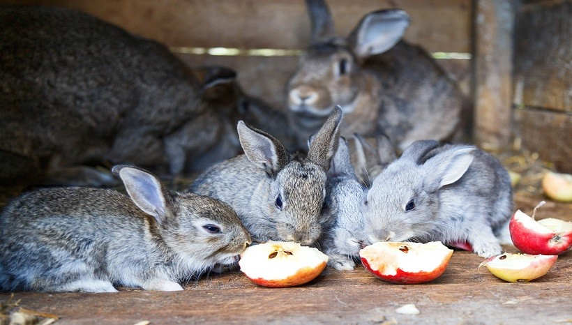 Can you feed rabbits apples