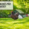 Do Chickens Pee Or Urinate