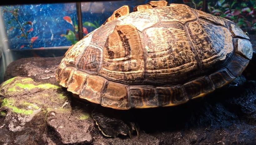 Turtle Skin Shedding
