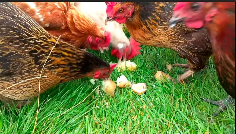 What Nutrients Do Chickens Get From Sweet Potatoes