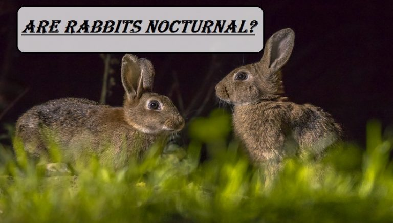Are Rabbits Nocturnal