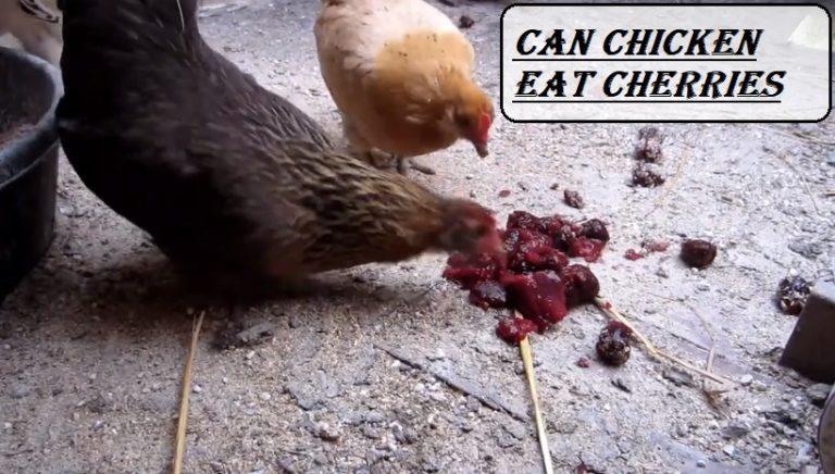 Can Chicken Eat Cherries